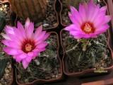 Купить кактус Thelocactus
