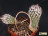 Купить кактус Gymnocactus