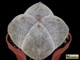 Купить семена Astrophytum