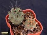 Купить кактус Tephrocactus
