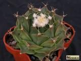 Купить кактус Obregonia