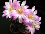 Купить кактус Ariocarpus