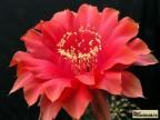 Echinopsis hybrid     Red Paramount   X   Echinopsis aurea
