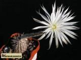 Купить семена Setiechinopsis