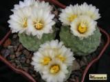 Купить кактус Strombocactus