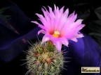 Thelocactus bicolor v. bolansis