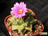 Купить кактус Turbinicarpus