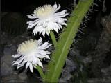 Купить кактус Acathocereus