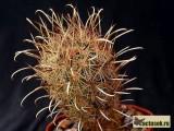 Купить семена Ancistrocactus