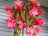 Купить семена Aporocactus