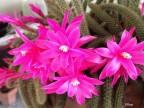 Aporocactus flageliformis