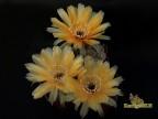 Echinopsis hybrid  'Apricot '