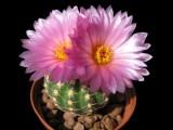 Купить семена Notocactus