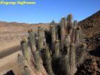 Eulychnia breviflora RUS 249 Chile : (Pargue National Llanos de Challe)