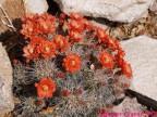 Echinocereus coccineus RUS-275, Ohara Rd, New Mexico,USA