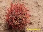 Ferocactus coloratus  RUS 133, El Carrizo, BC