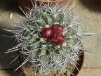 Copiapoa alticostata (dlouhé černé trny) JN 871, Quebrada Negra, Atacama, 147m, Ch