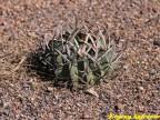 Echinofossulocactus coptonogonus RUS 517, El Pedernal, SLP