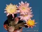 Chamaelobivia  hybrid cv. ANNIE