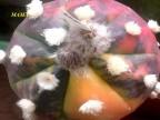 Astrophytum asterias VAR mix