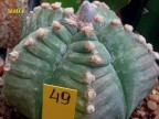 Astrophytum myriostigma 'Kikko' Rampou (седой) X myriostigma 'Kikko' HEKIRAN