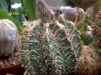 Astrophytum ornatum 'Fukuryu'