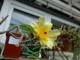 Купить семена Pterocactus
