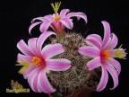 Mammillaria blossfeldiana  SB1854, Sta Rosalilito, BCS