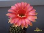 Echinopsis hybrid   'Sasquatch'    X   'Creme'