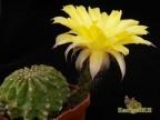 Echinopsis hybrid    'Maas Gelb'    X   'Creme'