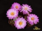 Mammillaria theresae - P 370, Zwergpflanze aus Durango