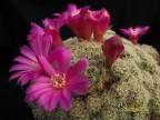 Sulcorebutia albissima KK 1567 Mizque