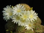 Sulcorebutia mentosa f.albiflora