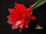 Купить семена Epiphyllum
