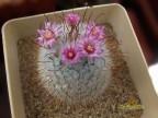 Mammillaria bombycina Coahuila