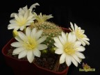 Rebutia cv. Rose of York