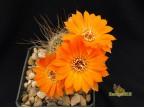 Rebutia aureiflora f. rubelliflora