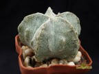 Astrophytum myriostigma 'Fukuryu'