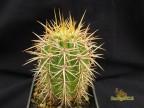 Trichocereus chilensis  RUS  193Chile