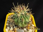 Glandulicactus mathsonii RUS 001
