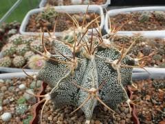 Astrophytum ornatum v. mirbelii