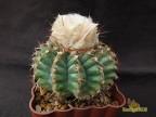 Discocactus bahiensis ssp.subviridigriseus
