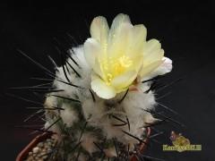 Copiapoa montana