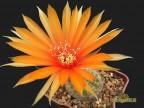 Lobivia arachnacantha 'orange flover'