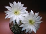 Купить семена Echinopsis
