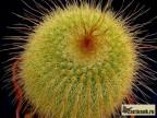 Eriocactus leninghausii HU 53 Rio Grande do Sul