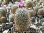 Gymnocactus beguinii v. senilis