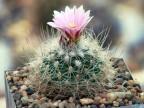 Gymnocactus knuthianus RS 678  Villar, San Luis Potosi, Mexico