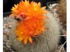Brasilicactus haselbergii