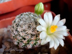 Mammillaria hernandezii f.albiflora